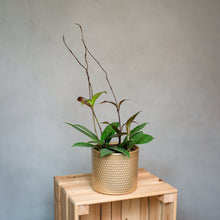 Load image into Gallery viewer, Hoya Carnosa Pubicalyx - Wax Plant