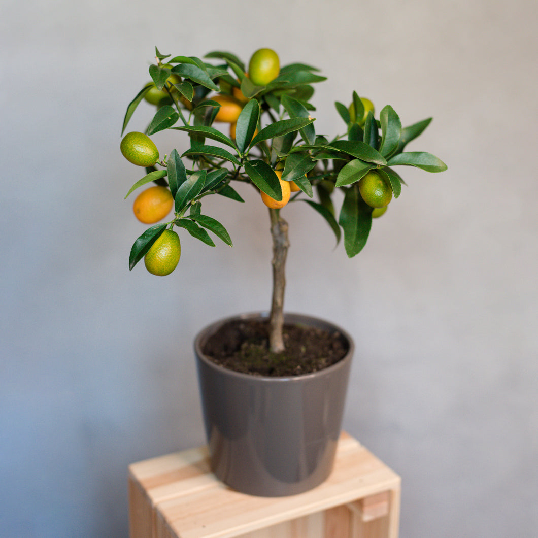 Citrus japonica- Kumquat Fruit Tree in Ceramic Pot