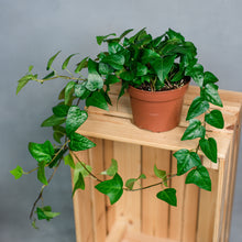 Load image into Gallery viewer, Hedera helix Mein Herz - English Ivy