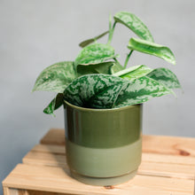 Load image into Gallery viewer, Scindapsus pictus - Satin Pothos