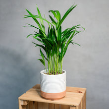 Load image into Gallery viewer, Dypsis lutercens - Areca Palm