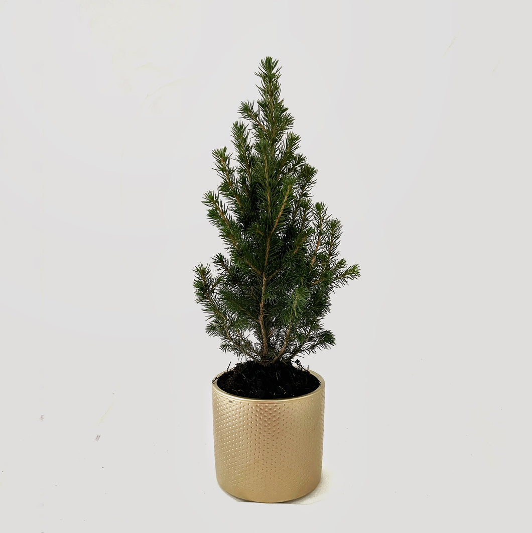 Picea glauca conica - Dwarf Alberta Spruce Three in Golden Ceramic Pot