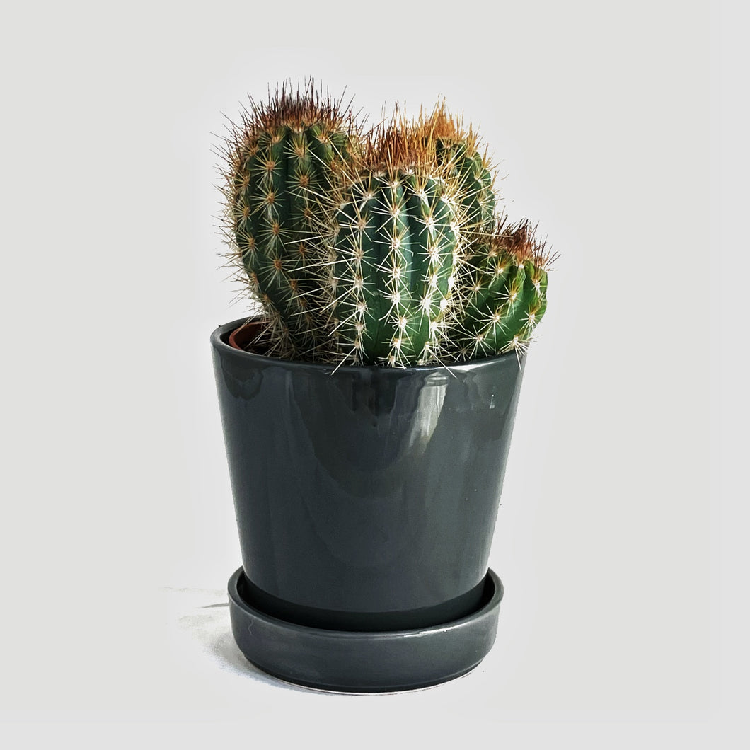 Medium size Mix Cactus in Ceramic Pot