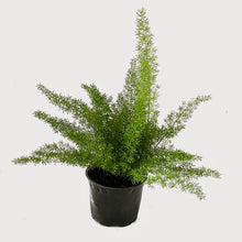 Load image into Gallery viewer, Asparagus densiflorus - Foxtail Fern