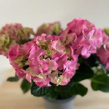 Load image into Gallery viewer, Hydrangea Early Rosa 6+ Flowers