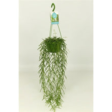 Load image into Gallery viewer, Hoya Linearis - Wax Plant