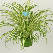 Load image into Gallery viewer, Chlorophytum comosum - Spider Plant