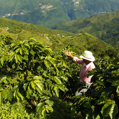 Coffee harvest and process
