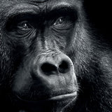 Gorilla Thoughts - 50x70cm