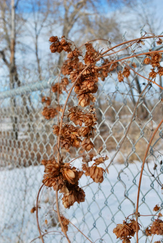 hops brew beer floral forage flower sweet sour drink forage collect wild plants calgary fence canada health yyc