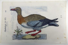 Laad afbeelding in Gallery viewer, 2 ornithologische prints op 1 blad - Ulisse Aldrovandi (1522 - 1605) - Anas Penelope, Smient, Dabbling Duck - 1637 - Avalon - Gifts, Antiques & Plants