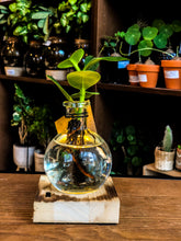 Laad afbeelding in Gallery viewer, Hydroponics Plant on a Light stand- SA Series (Bestseller) - Avalon - Gifts, Antiques & Plants