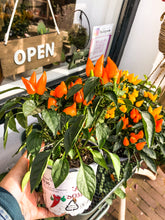 Laad afbeelding in Gallery viewer, Pepper Plant - Avalon - Gifts, Antiques & Plants