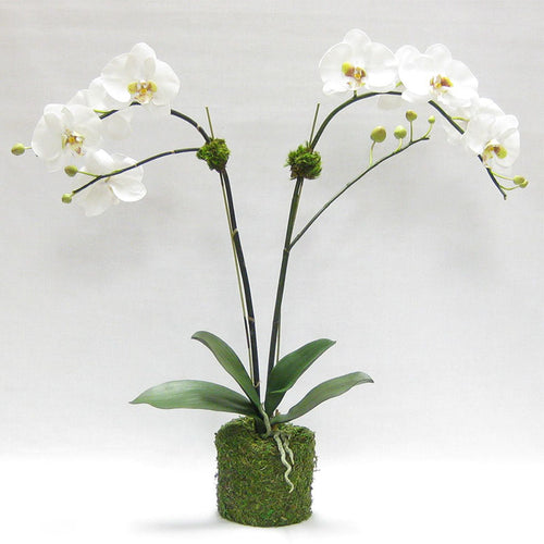Drop in White & Green Double Orchid Artificial in Moss Pot