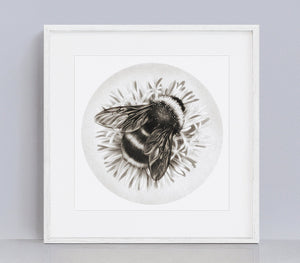 Bumble Bee on Cornflower, Giclee print of an original pencil drawing. 10x10 inch.