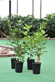 Citrus Plants - Imported