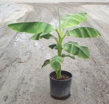 Load image into Gallery viewer, Hardy Banana Plant (Musa Basjoo)