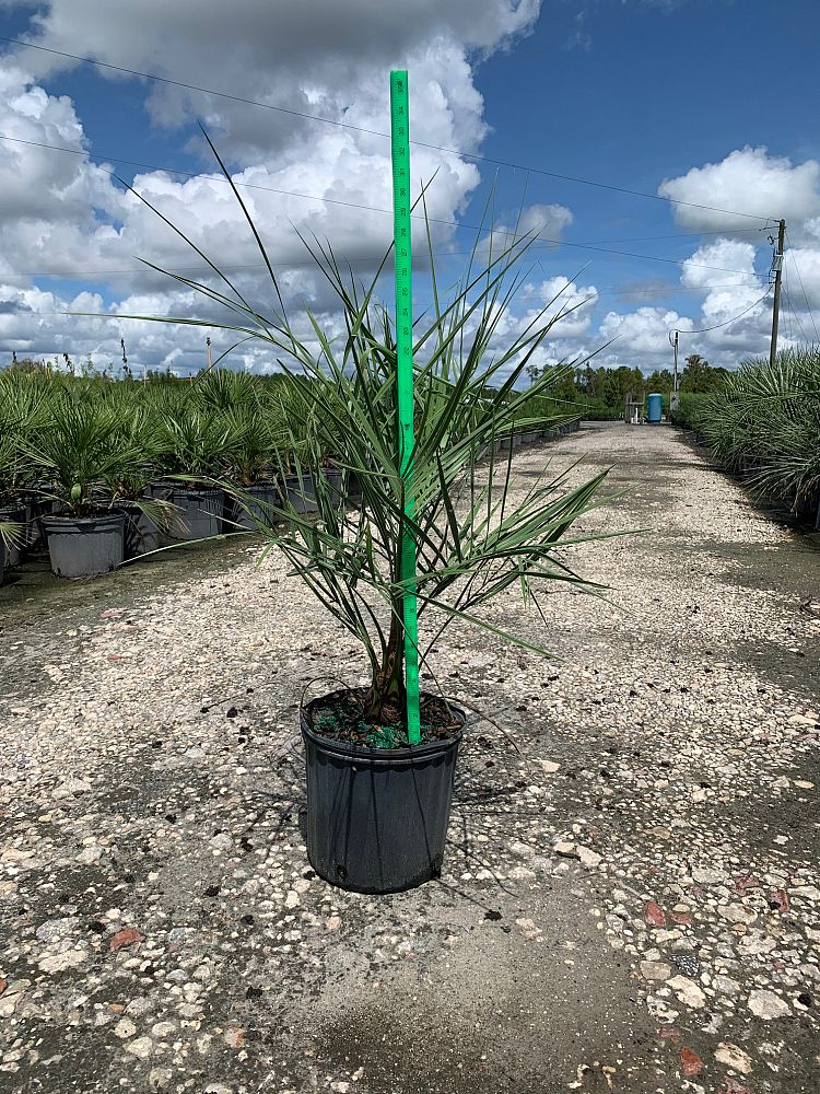Pindo Palm (Butia Capitata) - Imported