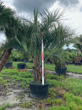 Load image into Gallery viewer, Pindo Palm (Butia Capitata) - Imported