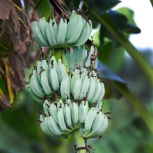 Load image into Gallery viewer, Ice Cream Banana (Musa Acuminata Blue Java) - Imported