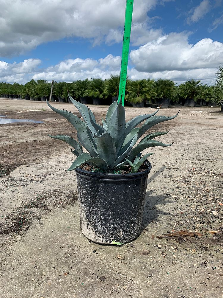 Agave Americana - Imported