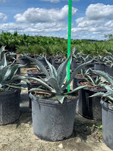 Load image into Gallery viewer, Agave Americana - Imported