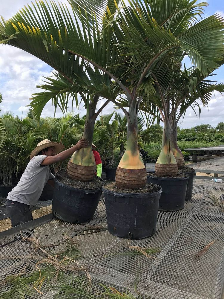 Hyophorbe Lagenicaulis (Bottle Palm) - Imported