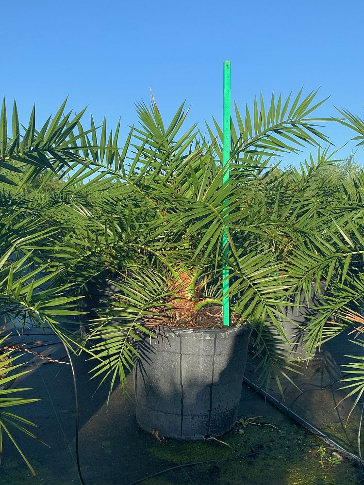 Canary Island Date Palm (Phoenix Canariensis) - Imported