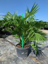 Load image into Gallery viewer, Chinese Fan Palm (Livistona Chinensis) - Imported