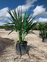 Load image into Gallery viewer, Dwarf Palmetto (Sabal Minor) - Imported