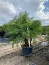 Load image into Gallery viewer, Pygmy Date Palm (Phoenix Roebelenii) - Imported