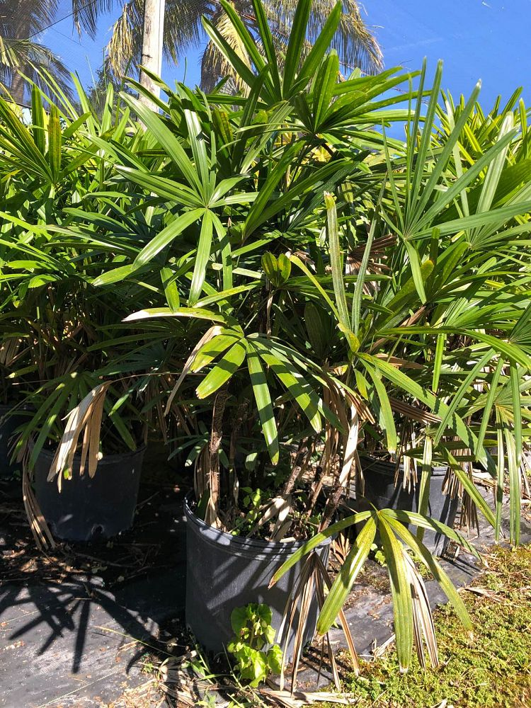 Lady Palm (Rhapis Excelsa) - Imported