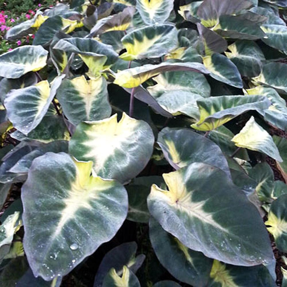 Colocasia 'Tropical Storm' - Imported