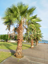 Load image into Gallery viewer, Washingtonia Robusta - Imported