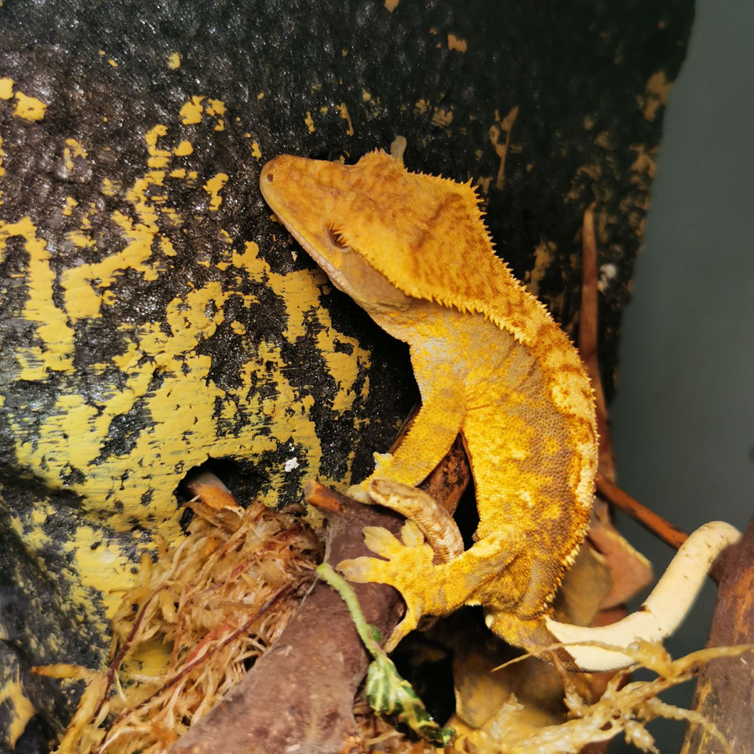 Crested Gecko CB19