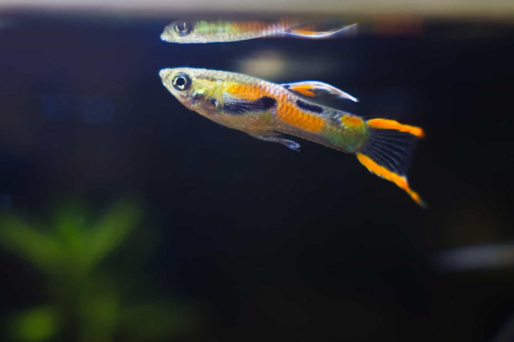 Male Endler Guppies
