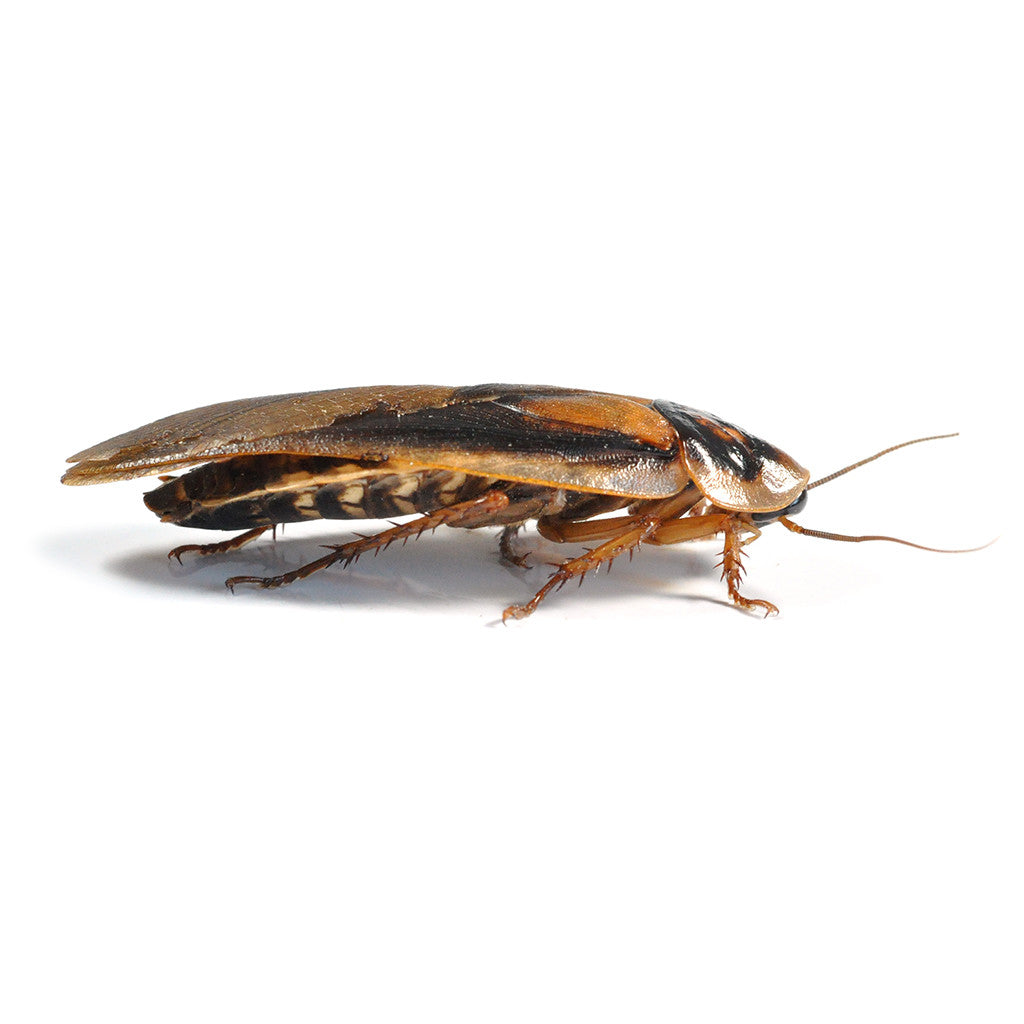 Live Food Large Dubia Roaches