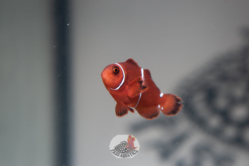 Maroon Clown Pair