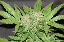 Load image into Gallery viewer, Cotton Candy Kush - Feminised