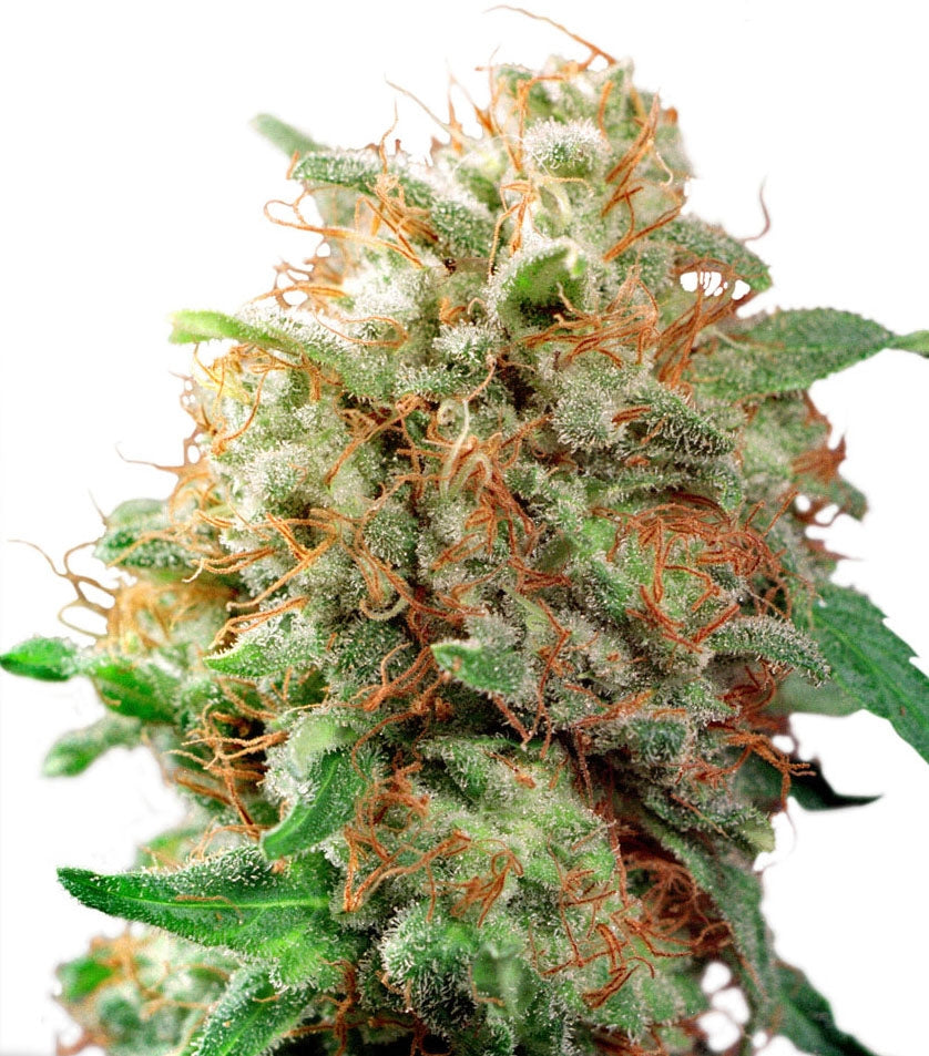 Blue Mazar - Auto Feminised Seeds