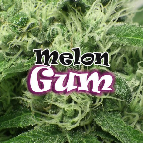 Melon Gum - Feminised Seeds