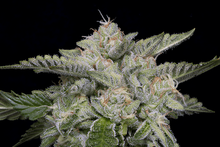 Load image into Gallery viewer, Skywalka Ghost Kush - Feminised