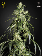 Load image into Gallery viewer, Arjan's Haze 1 - Feminised Seeds