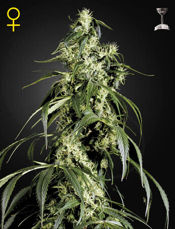 Arjan's Haze 1 - Feminised Seeds