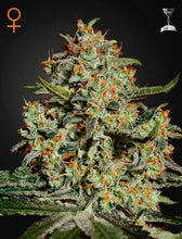 Load image into Gallery viewer, Big Bang - Feminsied Seeds