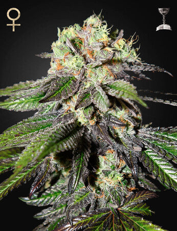 Caboose - Feminsied Seeds