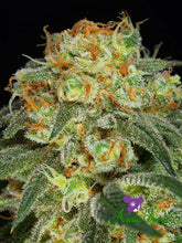 Load image into Gallery viewer, California Kush - Feminised