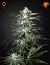 Load image into Gallery viewer, Chemdog - Feminsied Seeds