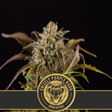 Load image into Gallery viewer, Grizzly Purple Kush - Feminised