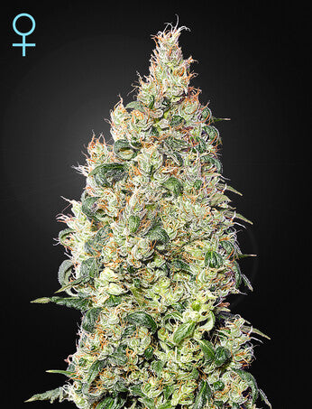 Great White Shark CBD - Feminsied Seeds